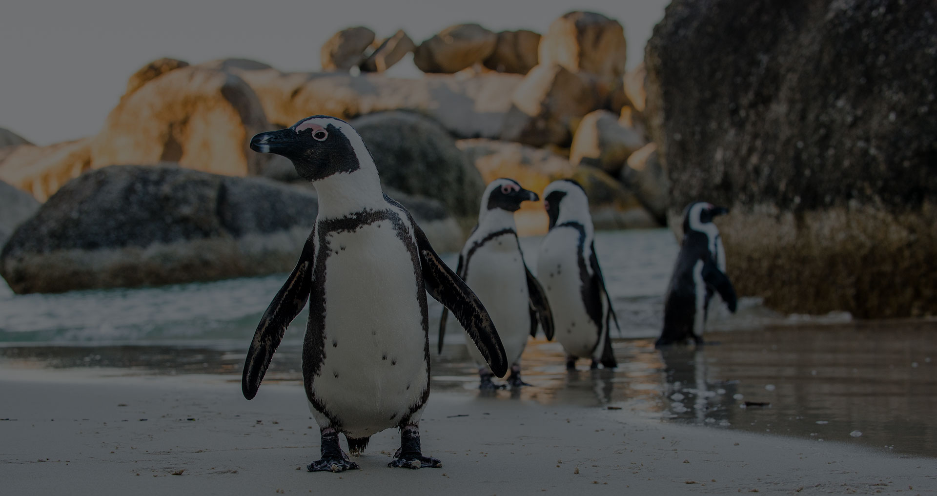 African penguin on the sandy beach. African penguin ( Spheniscus demersus) also known as the jackass penguin and black-footed penguin. Boulders colony. Cape Town. South Africa - Image