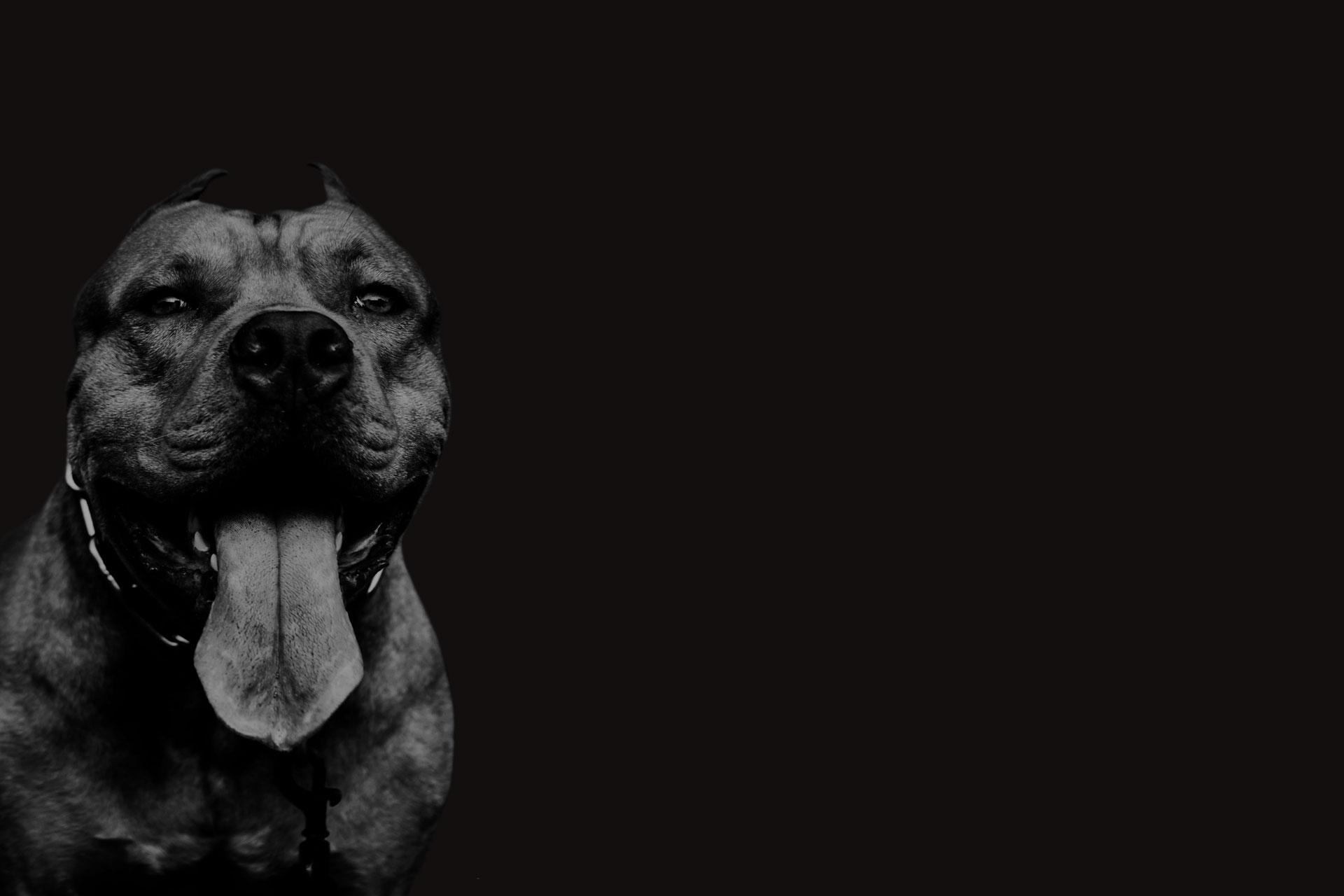 Pit Bull Dog Black and White