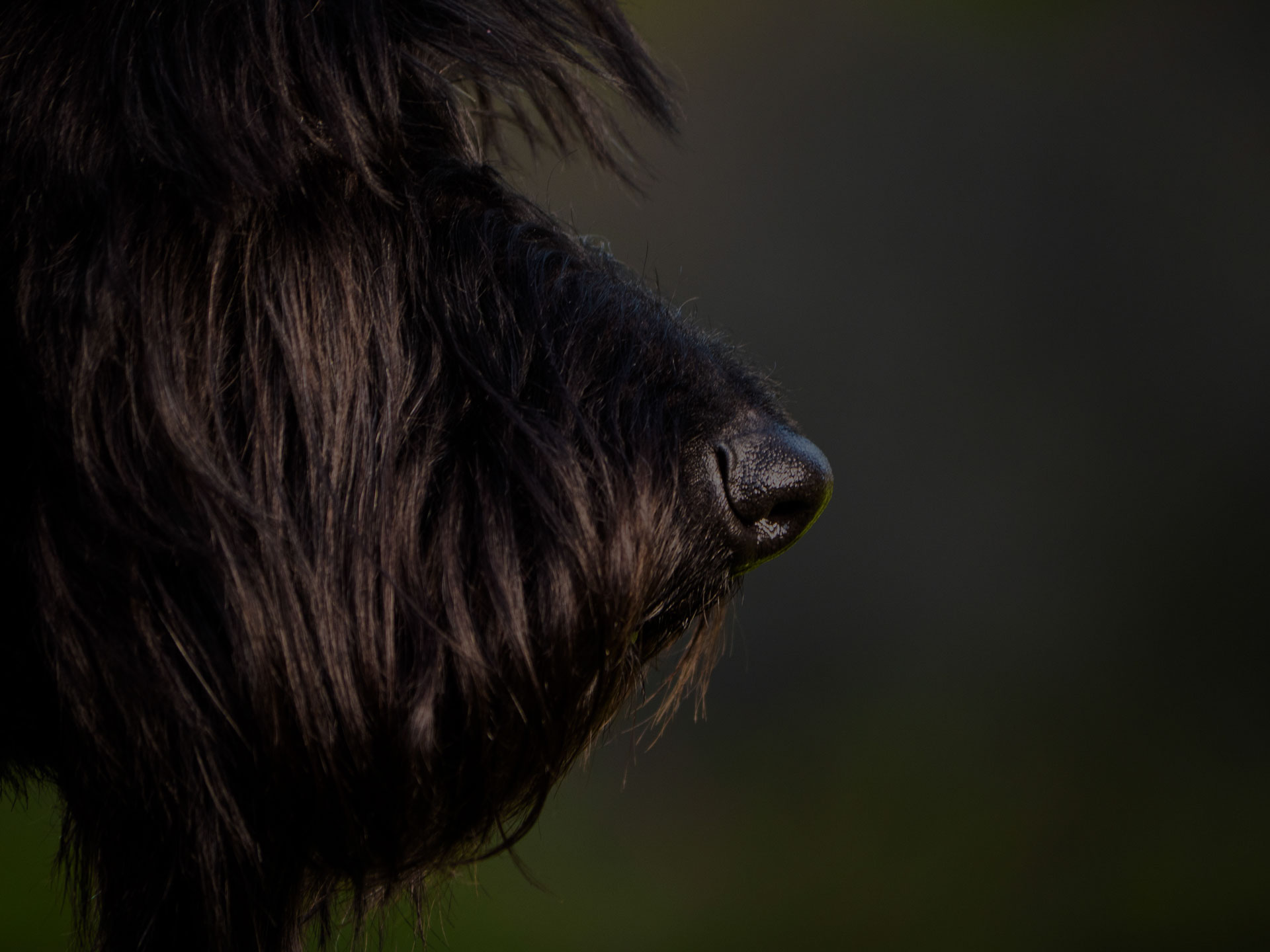 Beautiful Black Young Scottish Terrier Dog Outside in the garden - Image
